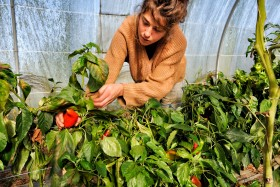CUEILETTE;GREENHOUSE;LEGUME;PEPPER;PICKING;PRODUCER;PRODUCTEUR;SERRE;VEGETABLE;POIVRON