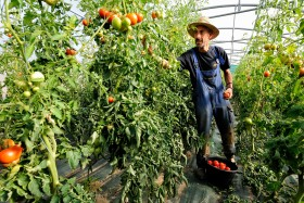 GREENHOUSE;LEGUME;PAYSAN;PEASANT;PRODUCER;PRODUCTEUR;SERRE;VEGETABLE;TOMATE;TOMATO