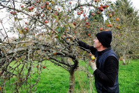 APPLE;ORCHARD;POMME;PRODUCER;PRODUCTEUR;VERGER;CUEILLETTE;PICKING