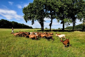 AGRICULTURE;BREEDING;CHAMP;CHEVRE;ELEVAGE;FIELD;HERD;MEADOW;PRAIRIE;TROUPEAU;GOAT
