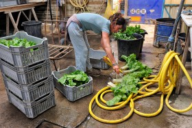 CLEANING;CULTURE;FARMING;GARDENING;LEGUME;MARAICHER;NETTOYAGE;VEGETABLE;BETTE;BEET