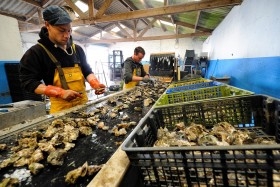 FRUIT DE MER;HUITRE;OSTREICULTURE;OYSTER;OYSTER FARMING;PRODUCER;PRODUCTEUR;SEAFOOD;TRIBORD;SORTING