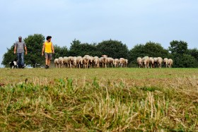 BREBIS;SHEEP;TROUPEAU;HERD;PRESQU'ILE DE RHUYS;MEADOW;PATURE;PASTURE